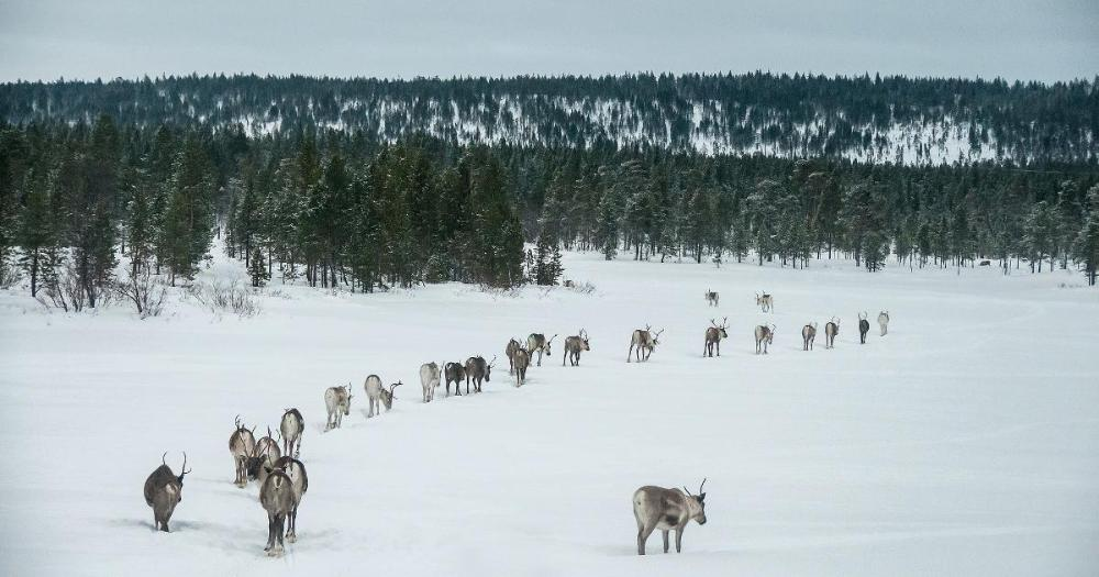 Reindeers in snow covered winter landscape. (Photo: Stefano Barzellotti / Shutterstock)